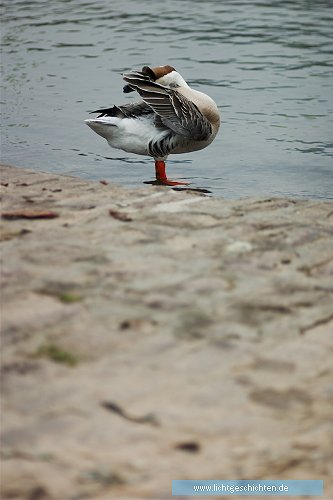 photo ente fauna federn