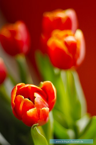 photo blumen flora orange tulpe